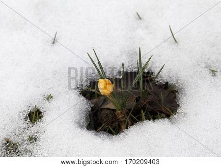Fresh crocus flower in the snow in early spring