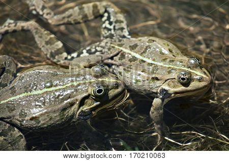 Two frogs mating in the water in spring
