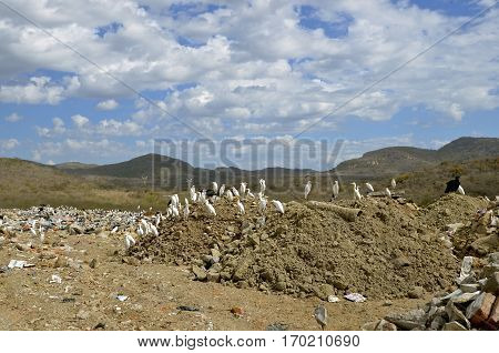 White birds congregate in a landfill area of a city dump
