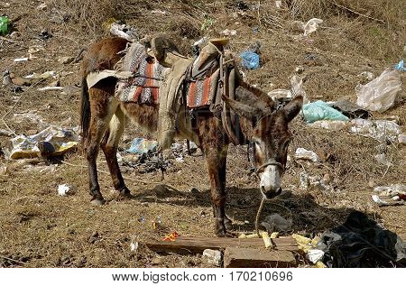 Emaciated saddled burrow standing in a a city dump eating rubbish