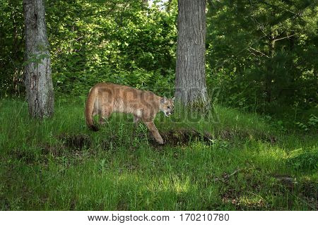 Adult Female Cougar (Puma concolor) Stalks Right Near Woods - captive animal
