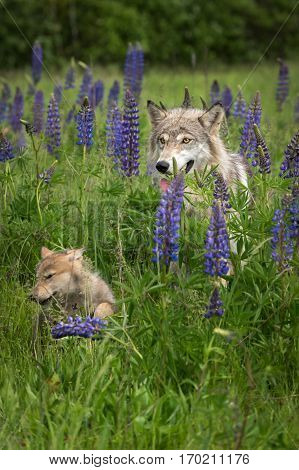 Grey Wolf (Canis lupus) and Pup in Grass