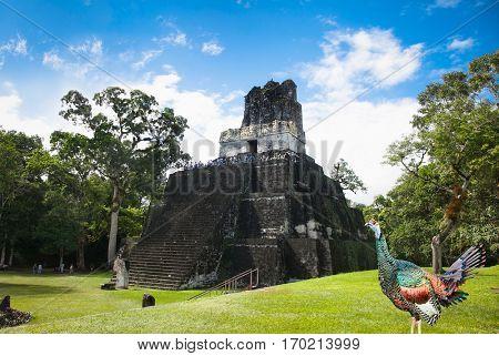 Wild turkey on the green grass  at Gran Plaza of Tikal, Guatemala.