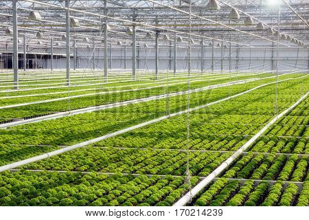 Large greenhouse with rows of cultivation in sunlight.