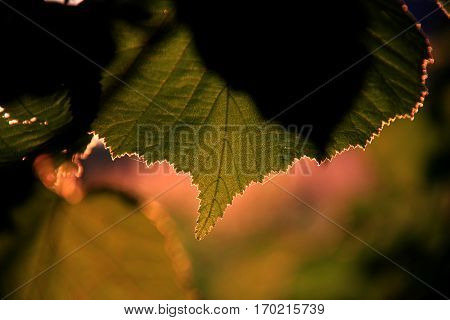A jagged leaf of the forest in thesunset