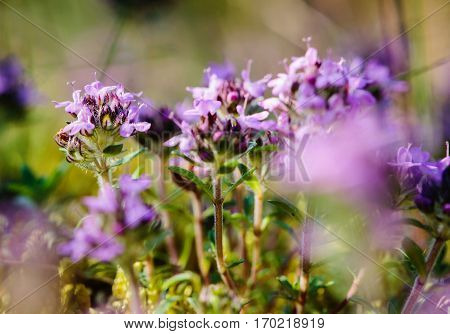 Closeup Of Wild Thyme (thymus Serpyllum) In The Forest