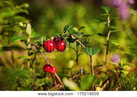 Lingonberries (Vaccinium vitis-idaea) in the summer forest Lithuania