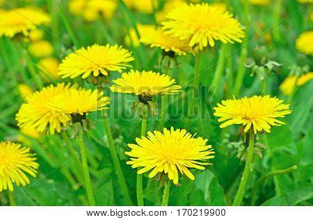 Dandelion flowers on a meadow focus on flower in front