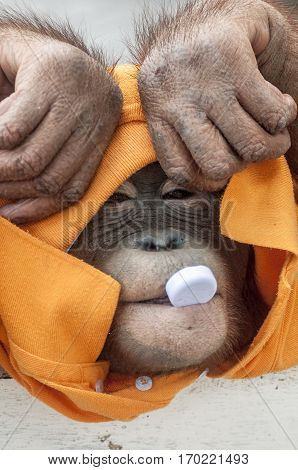 Thailand Pattaya. Monkey chimpanzee dressed in orange T-shirt played by mouth plastic cap from the bottle - that would take it into his mouth then puts out.