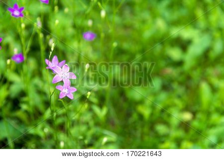 blooming bluebell flower (campanula flower) in the field on summer day