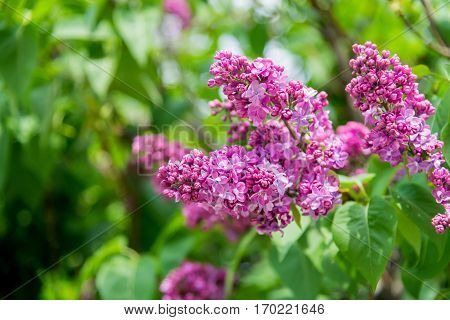 beautiful bunch of purple lilac in flowering in sunny spring day
