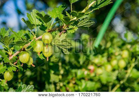 fresh green gooseberries on a branch on sunlight day