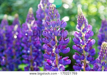 blooming purple lupines with drops of dew on a sunny summer day