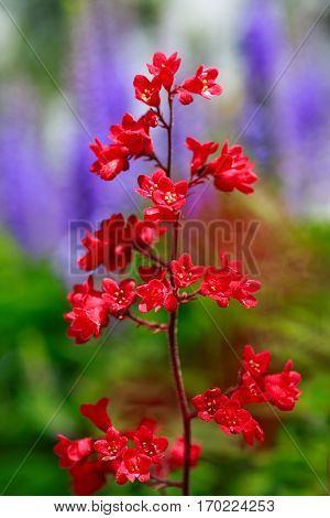 Coral bells or alumroot or heuchera is a herbaceous perennial plants common in northern gardens.