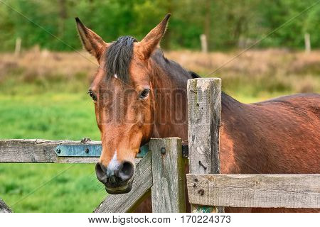 Portrait of Chestnut Horse near the Fence