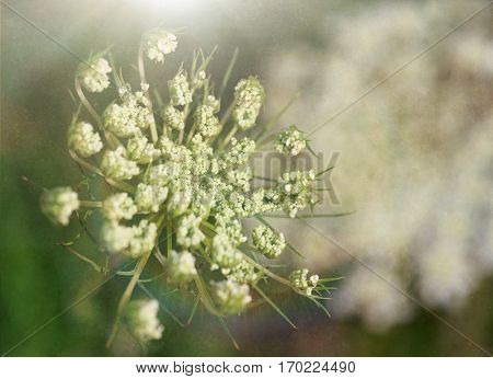 Queen Anne's Lace, a delicate flower found on a common North American wildflower. With added texture and intentional shallow DOF.