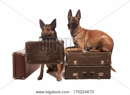 Two happy malinois dogs sitting on background