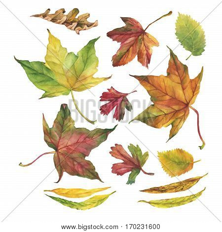 Set of autumn leaves. Hand drawn watercolor painting on white background.