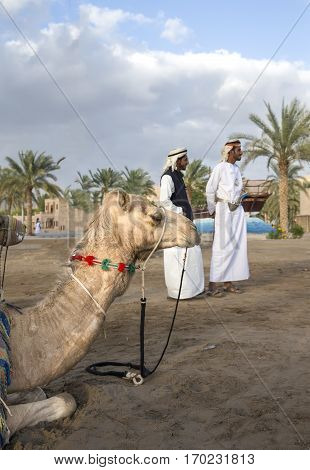 Muscat Oman February 4th 2017: camel is resting with omani men in traditional clothing at the background