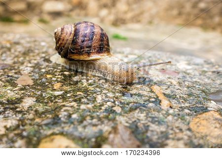 Closeup of french escargot moving across wet road
