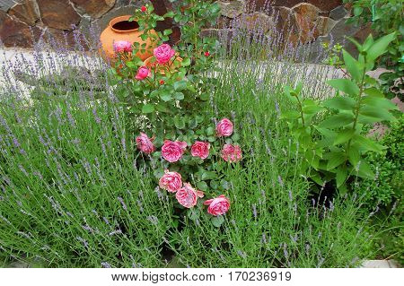 Rosa Odorata And Lavender
