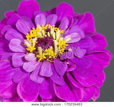 Macro Zinnia, Zinnia flower, Closeup Zinnia Black Background