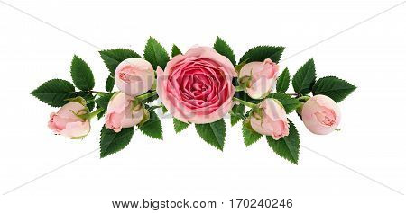 Pink rose flowers and buds composition isolated on white. Flat lay top view.