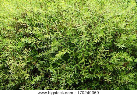 Green bushes with small leaves for background
