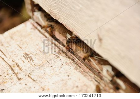 Honey Bees inside Country Hive. Wooden Hive