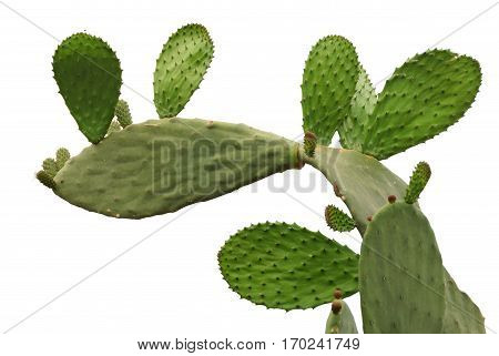 Opuntia cactus isolated on white background with new sprout