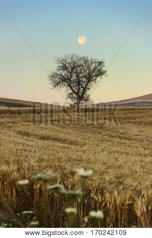 SUMMER LANDSCAPE.Between Apulia and Basilicata:full moon rising over wheat field with solitary tree before dawn. (ITALY)