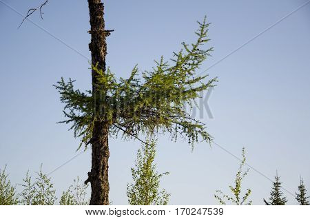 Pole of larch on the blue background
