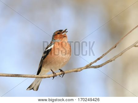 Chaffinch sings a sonorous song on a branch in spring in the Park