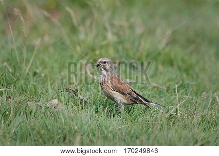 Common linnet resting on the gound in its habitat