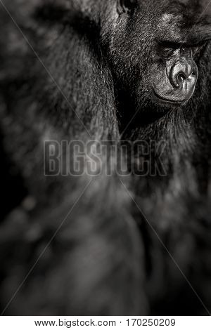 Face portrait of a gorilla male in zoo