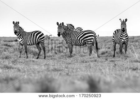 Zebra Portrait On African Savanna. Safari In Serengeti, Tanzania. Selective Focus.
