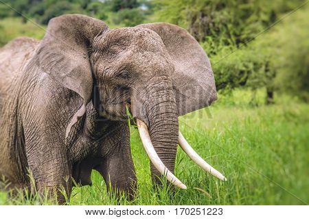 Huge African Elephant Bull In The Tarangire National Park, Tanzania
