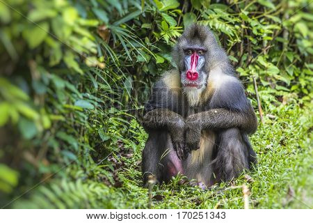 Portrait of the adult male mandrill in zoo