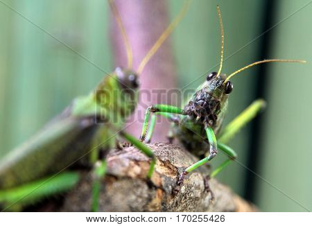 Two large green locusts macro image background