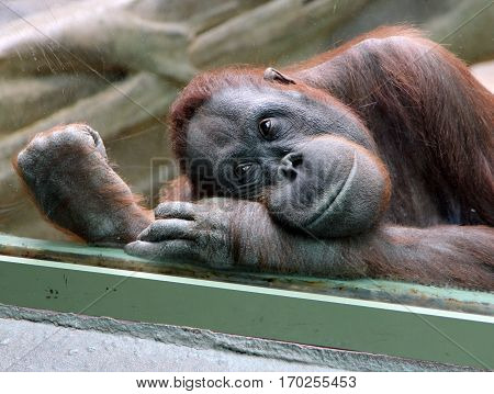 Female orangutan looks thoughtfully through the glass in the zoo