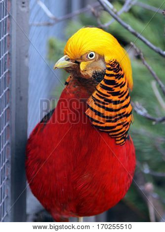 Male Golden or Chinese pheasant (Chrysolophus pictus)