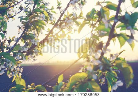 Blossoming tree over sunset background spring flowers blossom background.