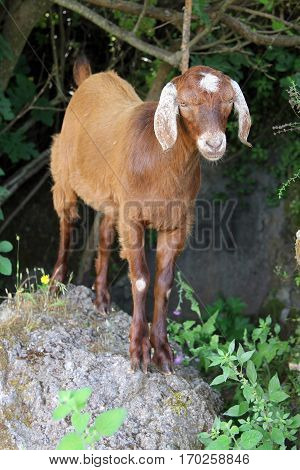 Goat on the street of turkish village