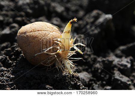 Germinated potato on the ground macro image