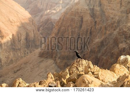Tristram's starling bird looking over the edge of Mount Masada