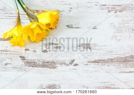 three yellow jonquils on bright rustic wooden background