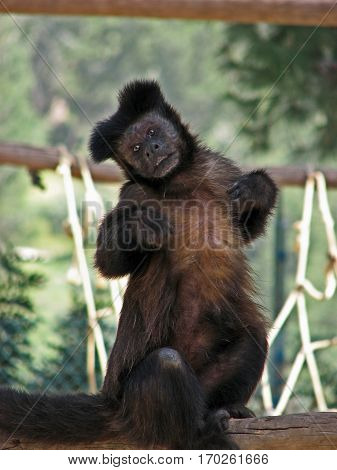 Small black monkey making a funny gesture, covering its nipples