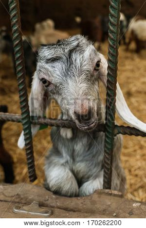 Young goat (kid) locked in a pen behind bars