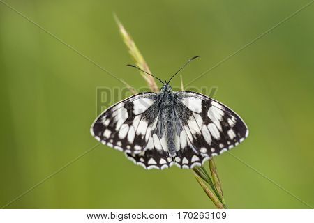Marbled White (Melanargia galathea) butterfly resting on a Grass-Stalk