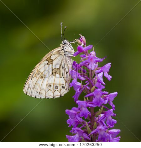 Marbled White (Melanargia galathea) butterfly resting on Fragrant Orchid (Gymnadenia conopsea)